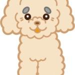 トイプードル(クリーム)の老犬