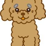 トイプードル(アプリコット)の老犬