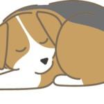 寝ているビーグル犬
