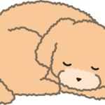 寝ているトイプードル(右)
